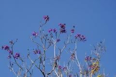 Jacaranda filicifolia Royalty Free Stock Image