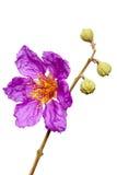 Jacaranda flower Royalty Free Stock Photo