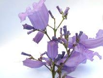 Jacaranda Flower. Purple Jacaranda flowers with a white and blue background Stock Photos