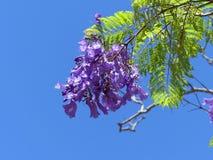 Jacaranda Flower. Jacaranda tree flowering in the spring time Stock Image