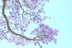 Jacaranda Flower Stock Photo