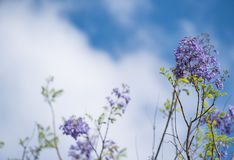Jacaranda flowering with blue sky and clouds. Purple jacaranda flowers with clouds and a blue sky Royalty Free Stock Image