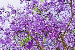 Jacaranda flowers. Purple beauty flowers of jacaranda tree on a background sky Stock Image