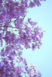 Jacaranda Flowers Stock Photography