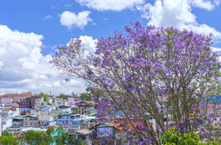 Jacaranda flowers bloom on the hill Stock Photography