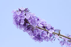 Jacaranda flowers Stock Photo