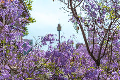 Jacaranda flowers close up with blurred Sydney Tower on the back Royalty Free Stock Image