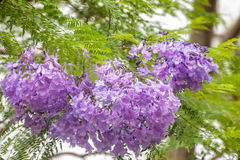 Jacaranda Flowers close up. Cluster of purple Jacaranda flowers on a blured background with green leaves Stock Images