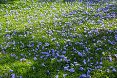 Jacaranda flowers on the floor Royalty Free Stock Images