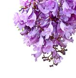 Jacaranda flowers isolated Stock Images