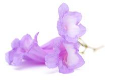 Jacaranda flowers isolated Royalty Free Stock Images