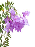 Jacaranda flowers isolated Stock Photo