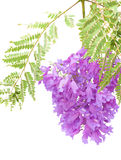 Jacaranda flowers isolated. On white Royalty Free Stock Image