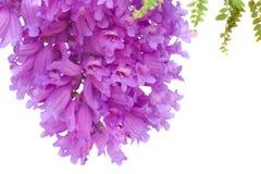 Jacaranda flowers isolated. On white Stock Images