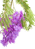 Jacaranda flowers isolated Royalty Free Stock Photography