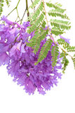 Jacaranda flowers isolated Stock Image