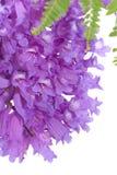 Jacaranda flowers isolated. On white Stock Image