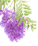 Jacaranda flowers isolated Royalty Free Stock Image