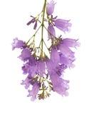 Jacaranda flowers isolated on white background Royalty Free Stock Photography