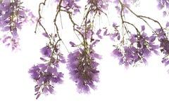 Jacaranda flowers isolated on white background Stock Image
