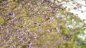 Jacaranda flowers moving with wind stock video footage