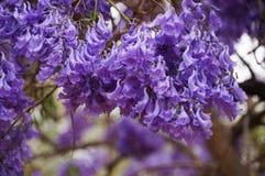 Jacaranda flowers in Spring,South Africa. Beautiful jacaranda flowers in Spring,South Africa Stock Photos