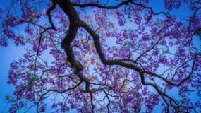 Jacaranda im Frühjahr Lizenzfreie Stockfotos