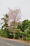 Jacaranda (J. mimosifolia) Stock Photo