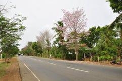 Jacaranda (J. mimosifolia) Royalty Free Stock Images