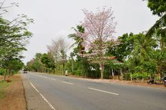 Jacaranda (J. mimosifolia) Stock Image
