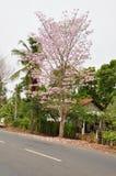 Jacaranda (J. mimosifolia) Stock Photos