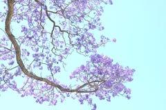 Jacaranda kwiat Zdjęcie Stock