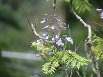 Jacaranda kwiat - Paraty Obraz Stock