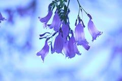 Jacaranda kwiaty Zdjęcie Stock