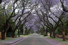Jacaranda lined street. Jacaranda trees in full bloom lining a street in Pretoria, South Africa Royalty Free Stock Images