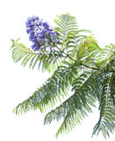 Jacaranda mimosifolia Stock Photography