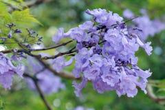 Jacaranda Mimosifolia. Close up of flowers of the tree Jacaranda Mimosifolia Royalty Free Stock Image