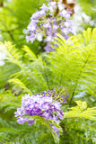 Jacaranda mimosifolia is a beautiful sub-tropical tree native to Stock Image