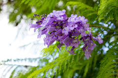 Jacaranda mimosifolia is a beautiful sub-tropical tree native to Stock Photos