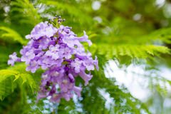 Jacaranda mimosifolia is a beautiful sub-tropical tree native to Royalty Free Stock Images