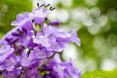 Jacaranda mimosifolia is a beautiful sub-tropical tree native to Royalty Free Stock Photo