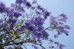 Jacaranda mimosifolia blaue Blumenblüte stockbild