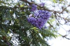 Jacaranda flowers / Jacarandá, tarco. Jacaranda mimosifolia in bloom Royalty Free Stock Photography