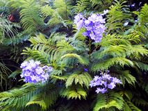 Jacaranda mimosifolia of the family Bignoniaceae Stock Image