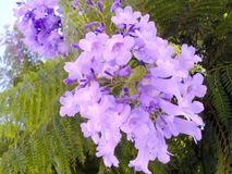Jacaranda mimosifolia of the family Bignoniaceae Stock Images