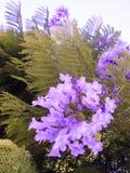 Jacaranda mimosifolia of the family Bignoniaceae Stock Photos