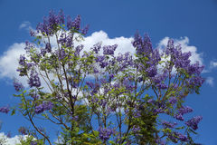 Jacaranda Royalty Free Stock Photos
