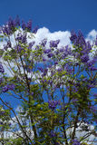 Jacaranda. Mimosifolia in full bloom with bright blue sky in the background Royalty Free Stock Images