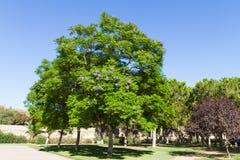 Jacaranda mimosifolia ist ein schönes subtropisches Baumeingeborenes zu Lizenzfreie Stockfotografie