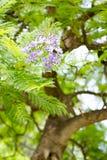 Jacaranda mimosifolia ist ein schönes subtropisches Baumeingeborenes zu Lizenzfreie Stockfotos